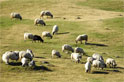 sheep in a field eating grass