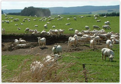 Ewes adjacent to quarry